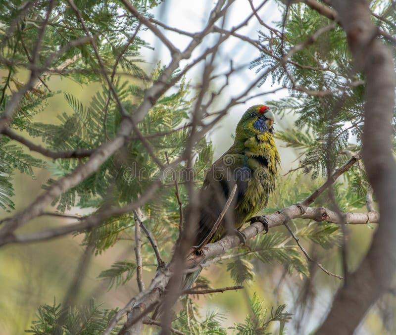 Gelbbauchsittich Platycerus-eximius in den Bäumen bei Scamander, Tasmanien lizenzfreie stockfotos