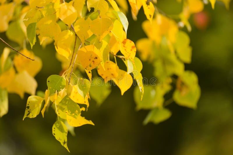 Gelbblätter im Herbst lizenzfreie stockfotografie