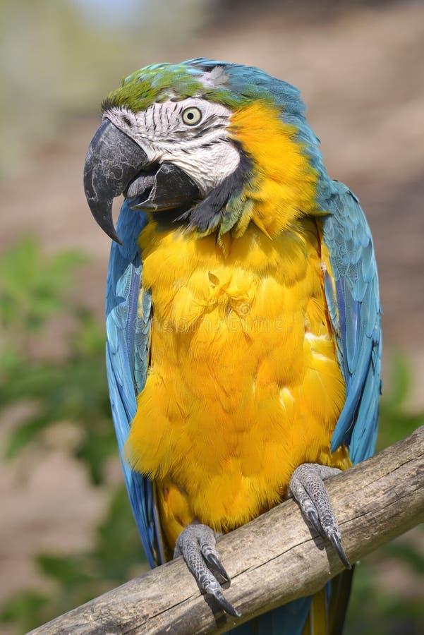 Gelbbrustara macaw on perch. Closeup gelbbrustara macaw or blue-and-gold macaw Ara ararauna perched on branch royalty free stock image
