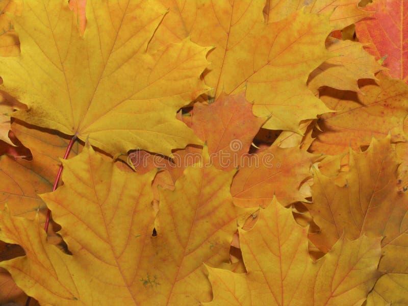 Gelbe Ahornblätter lizenzfreies stockfoto