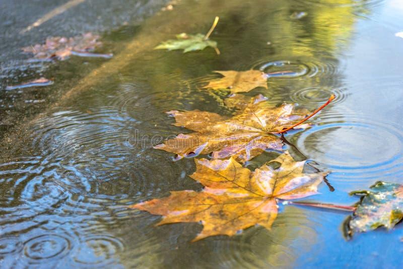 Gelbe Ahornblätter des Herbstes in der Pfütze auf Asphalt mit Regentropfen am sonnigen Tag Selektiver Fokus lizenzfreies stockfoto