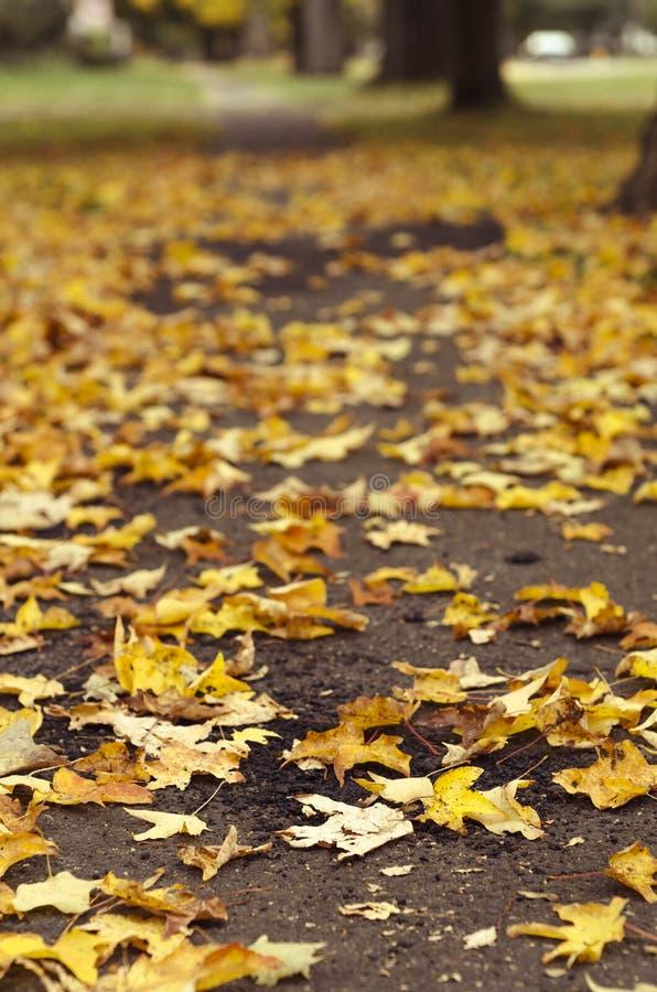 Gelbe Ahornblätter gefallen auf dem Boden stockfotografie