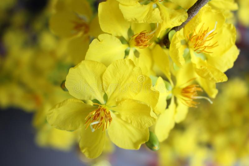 Gelbe Aprikosenblüte stockfotografie