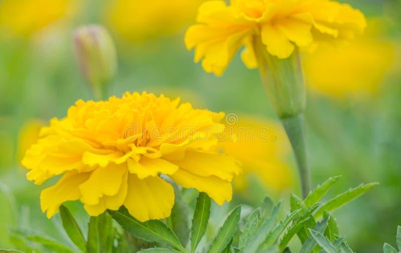 Gelbe Aster blüht im Garten als Hintergrund lizenzfreie stockfotografie