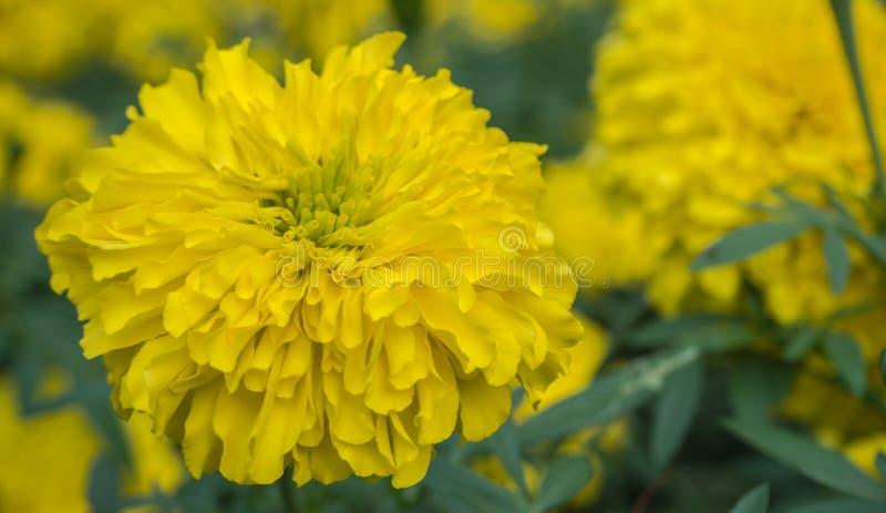 Gelbe Aster blüht im Garten als Hintergrund Ringelblume - Tag lizenzfreies stockbild