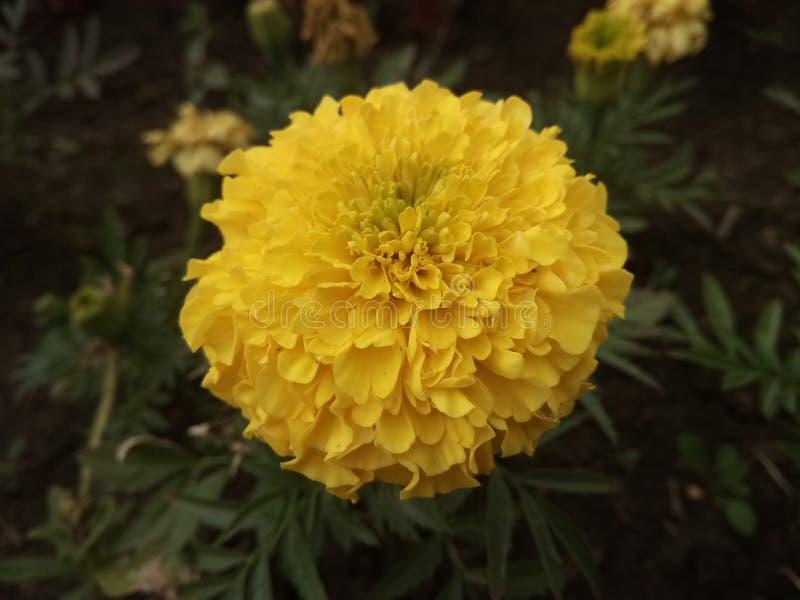 gelbe Astern im Garten lizenzfreies stockbild