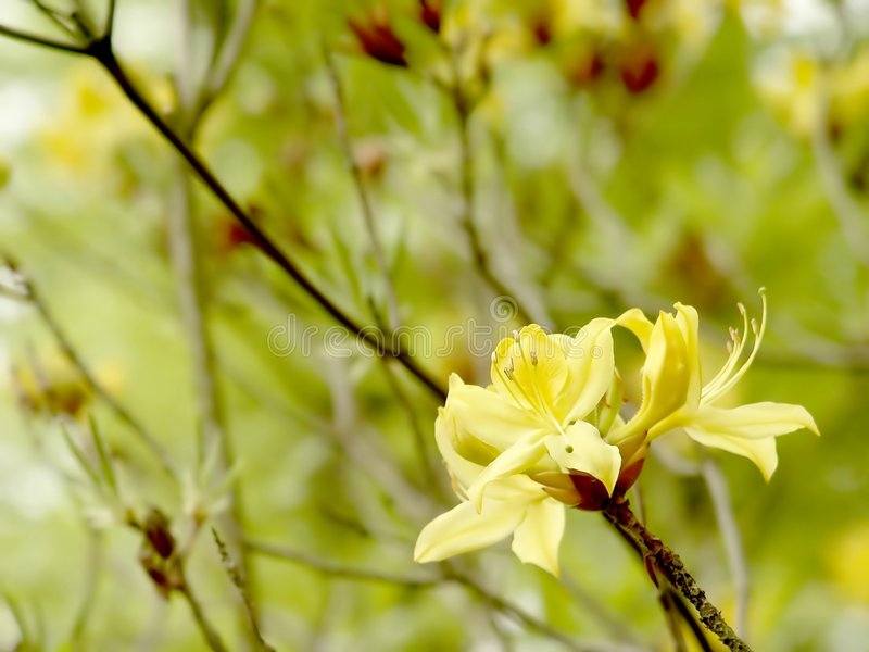 Download Gelbe Azalee Im Botanischen Garten Stockbild - Bild von knospe, garten: 9077039
