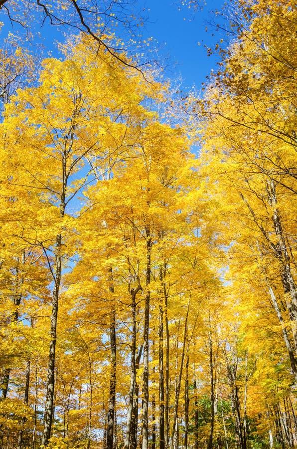 Gelbe Bäume und blauer Himmel im Herbst lizenzfreies stockfoto