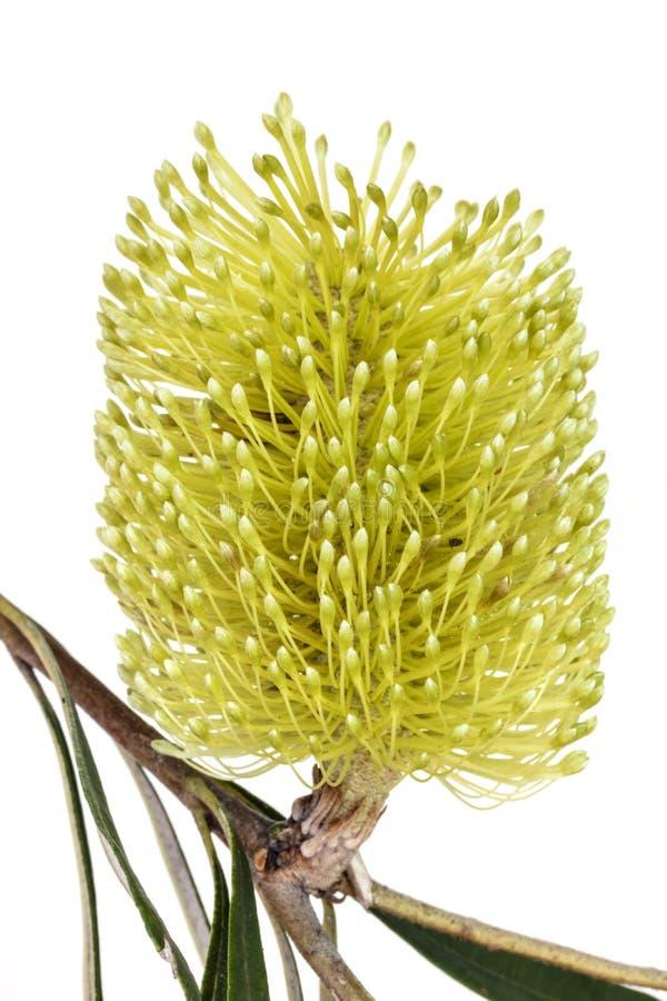 Gelbe Banksia-Blume lokalisiert stockfotos