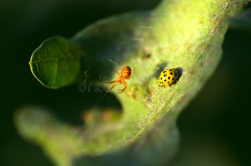 Gelbe 22 beschmutzter Marienkäfer, der auf einem Blatt unter einer Spinne in seinem Netz sitzt lizenzfreie stockfotografie