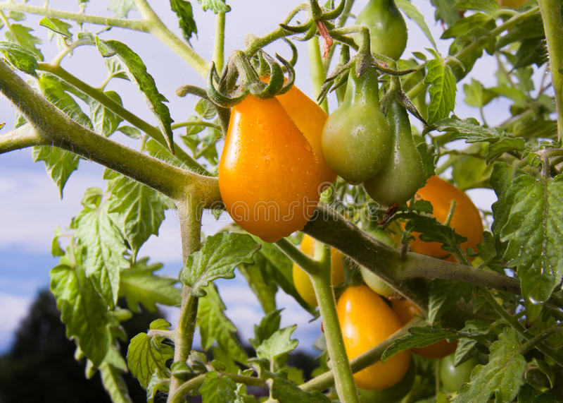 Gelbe Birnen-Tomaten stockfotografie