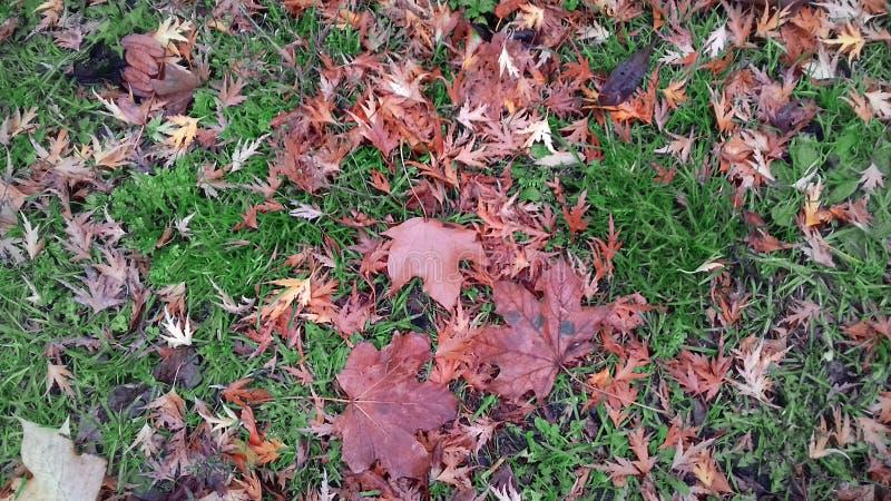 Gelbe Blätter auf grünem Gras im Frühherbst in Polen stockfoto