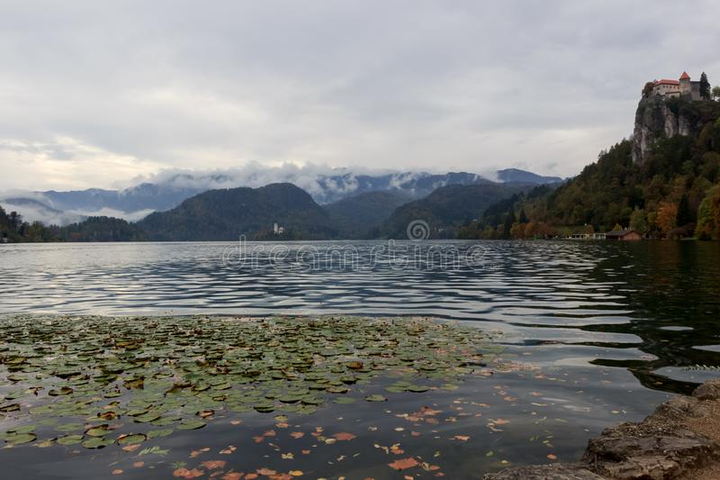 Gelbe Blätter Herbst und Wasserblumen am Bled See in Slowenien angesichts der Insel stockfoto