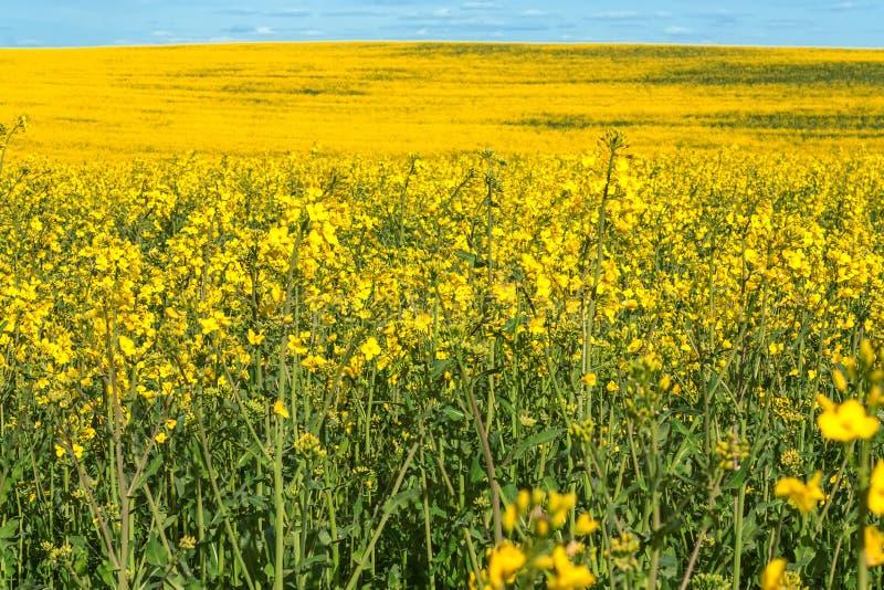 Gelbe blühende Rapssamenweidelandschaft stockfoto