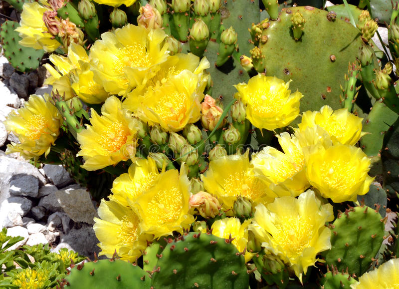 Gelbe Blüten des Kaktusfeigekaktus stockbilder