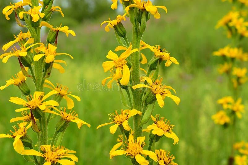 Gelbe bl?hende Blumen stockbilder