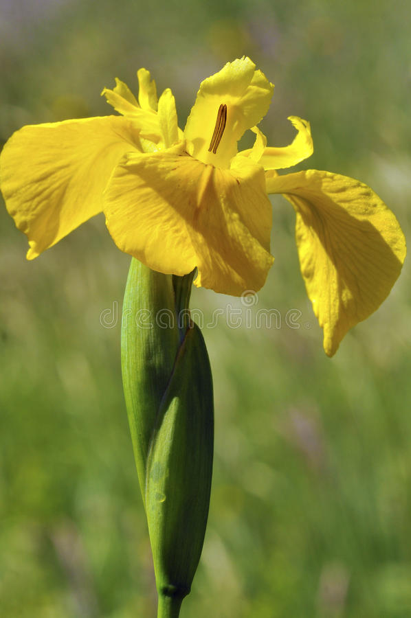 Gelbe Blende lizenzfreie stockfotos