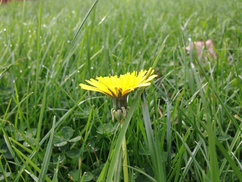 Gelbe Blume lizenzfreie stockfotos