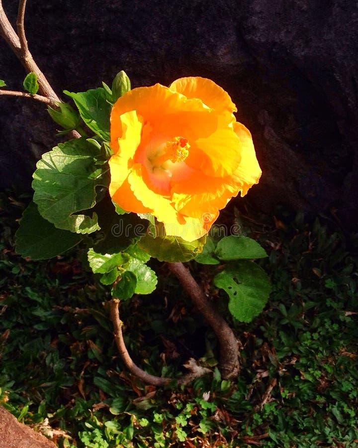 Gelbe Blume stockbilder