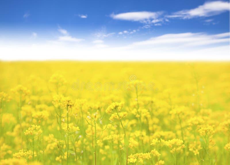 Gelbe Blume auf dem Gebiet und Hintergrund des blauen Himmels stockfotografie