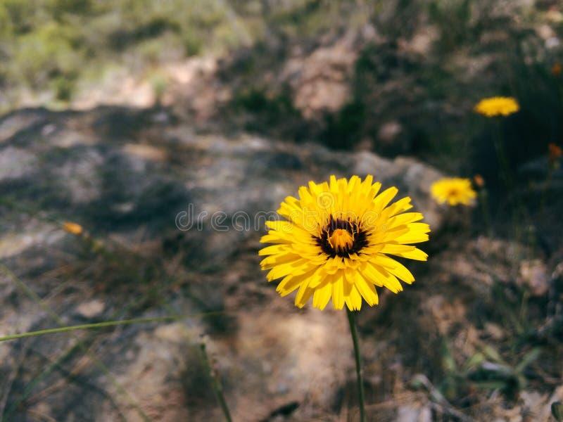 Gelbe Blume auf einem Gebiet stockfotografie