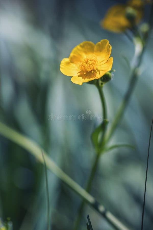 Gelbe Blume Butterblumenahaufnahme lizenzfreie stockfotos