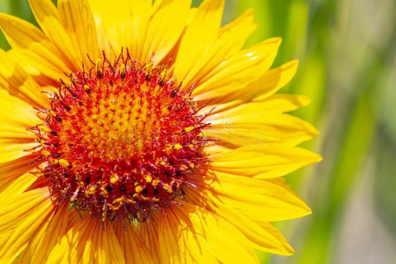 Gelbe Blume Calgary-Frühlinges auf einem grünen Hintergrund stockfotografie