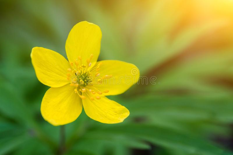 Gelbe Blume der Anemone auf grünem Hintergrund Selektiver Fokus, Kopienraum stockfoto