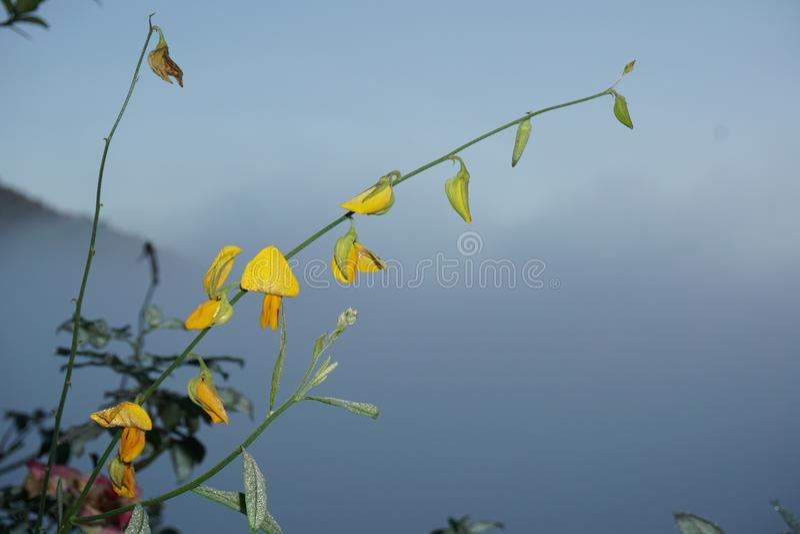 Gelbe Blume der Nahaufnahme des Sunnhanfs oder des Crotalaria juncea im wissenschaftlichen Namen lizenzfreie stockfotografie
