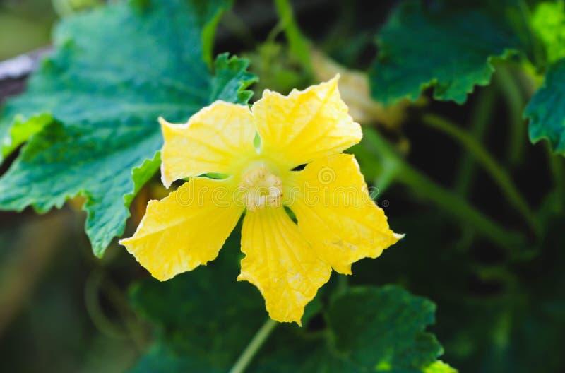 Gelbe Blume der Wachskürbisfrucht im Garten stockbild