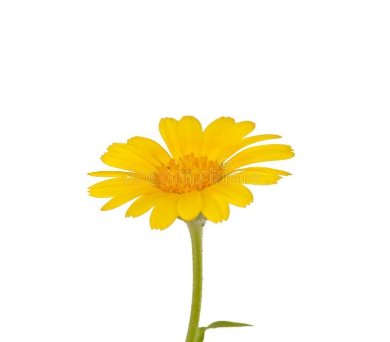 Download Gelbe Blume der Wiese stockfoto. Bild von blüte, betriebe - 27728812