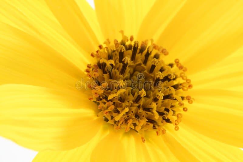 Gelbe Blume des Gänseblümchens, Makrostudioschuß stockbilder