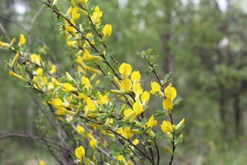 Gelbe Blume des haarigen Greenweed Genista pilosa Genista pilosa, allgemein bekannt als haariger Greenweed, silkyleaf kehren, sil lizenzfreies stockfoto