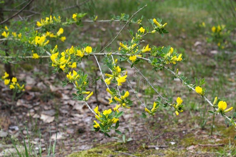 Gelbe Blume des haarigen Greenweed Genista pilosa Genista pilosa, allgemein bekannt als haariger Greenweed, silkyleaf kehren, sil lizenzfreie stockfotos