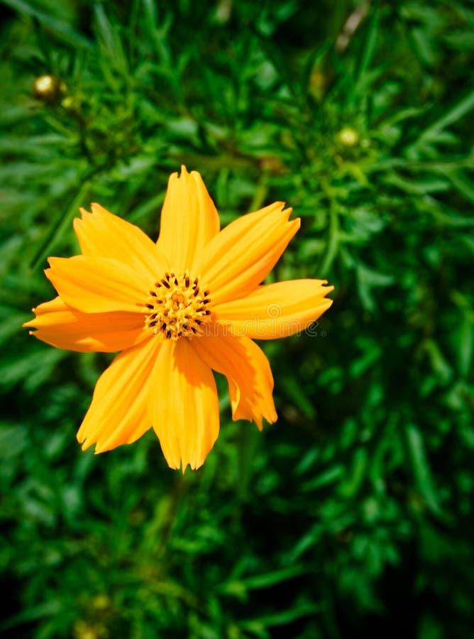 Gelbe Blume des Kosmos stockbilder