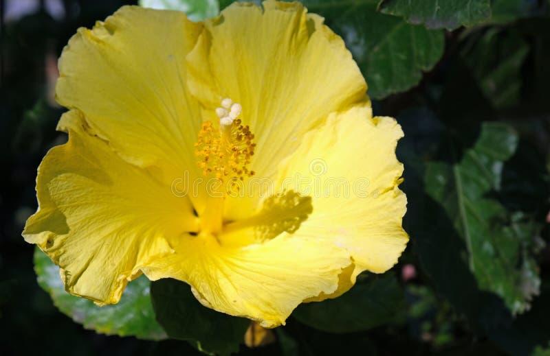 Gelbe Blume eines Hibiscusstrauchs stockfotografie