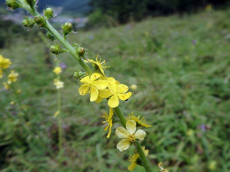 Gelbe Blume, gemeiner Agrimony, stockfotos
