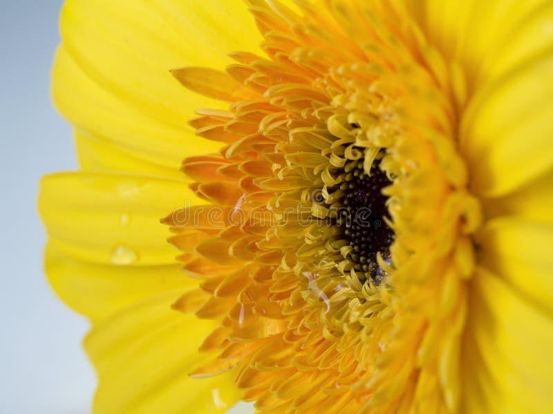 Gelbe Blume Gerber Nahaufnahme stockfotos