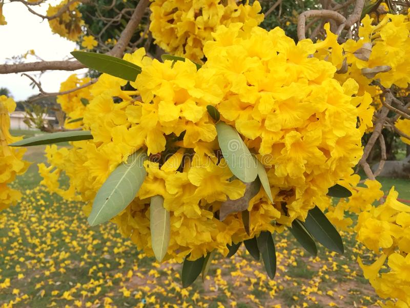 Gelbe Blume im Garten Silber-Trompetenbaum stockfotos