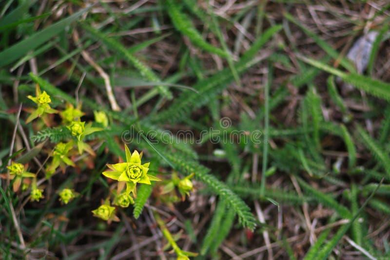Gelbe Blume im grünen Gras stockbilder