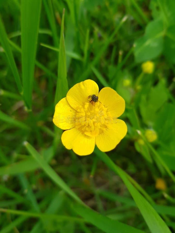 Gelbe Blume mit einer wenigen Wanze auf ihr lizenzfreie stockfotos