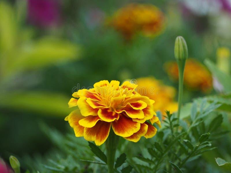 Gelbe Blume mit grünem Hintergrundabschluß oben lizenzfreies stockbild