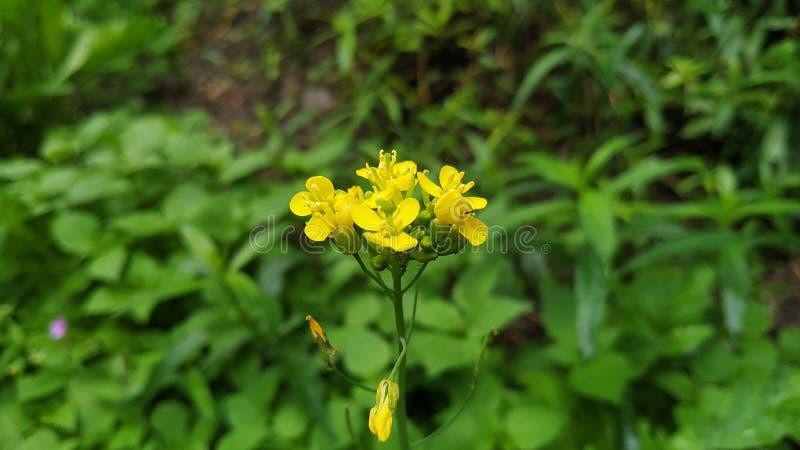Gelbe Blume mit schönem Geruch stockbilder