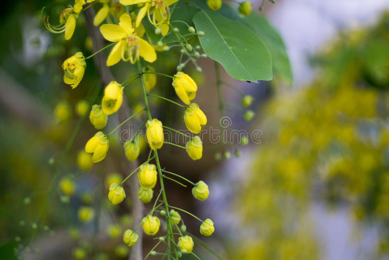 Gelbe Blume mit Unschärfe-Hintergrund Goldene Duschnationale Blume von Thailand stockbild