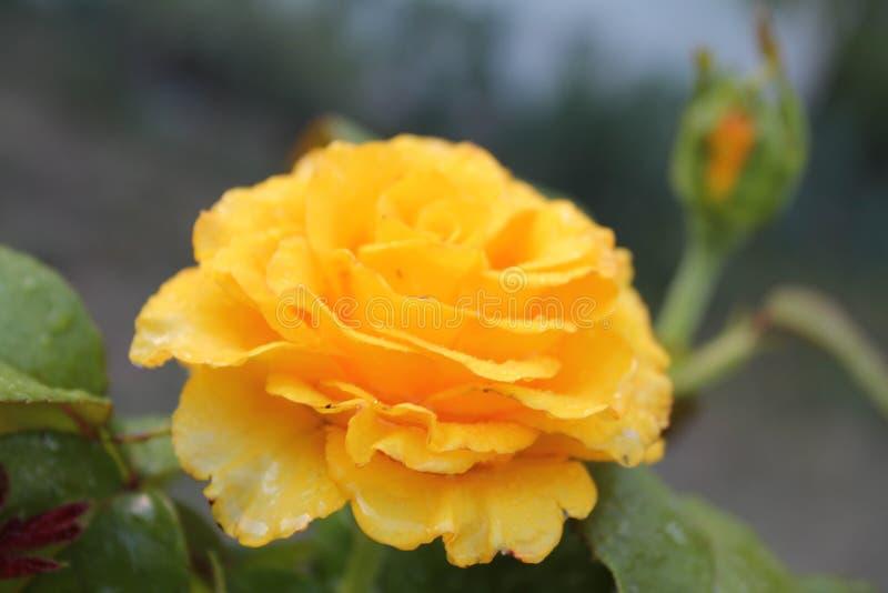 Gelbe Blume nach dem Regen lizenzfreie stockbilder