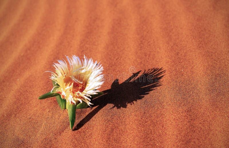 Gelbe Blume wächst auf einer Sanddüne in der Wüste stockfotografie