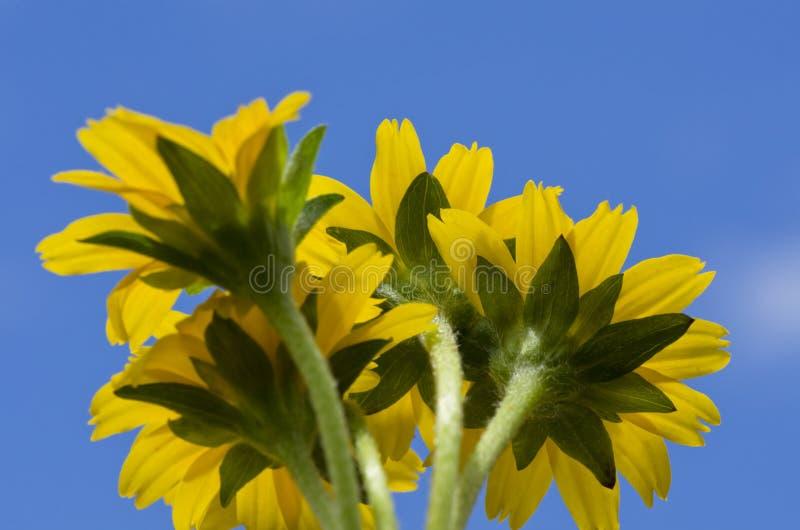 Gelbe Blume wenig blauer Himmel des gelben Sternes stockfoto