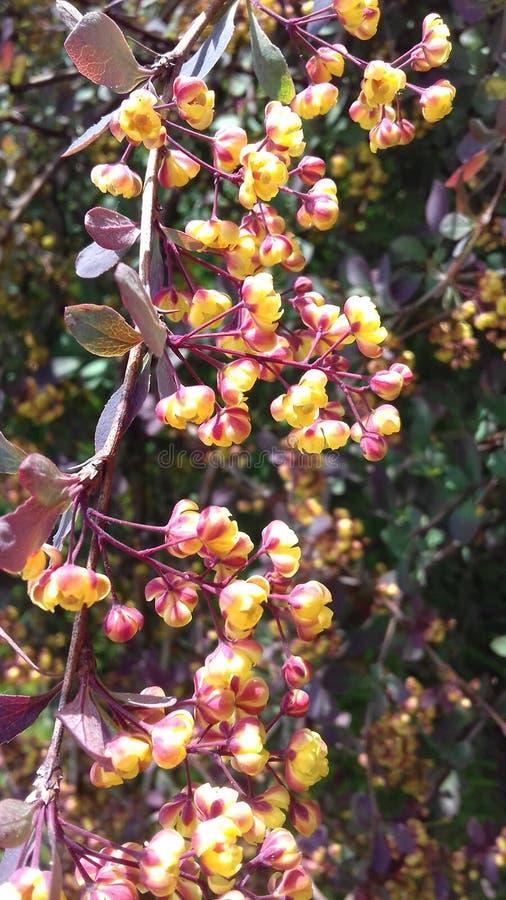 Gelbe Blumen auf Frühlingsbusch, Litauen stockfoto