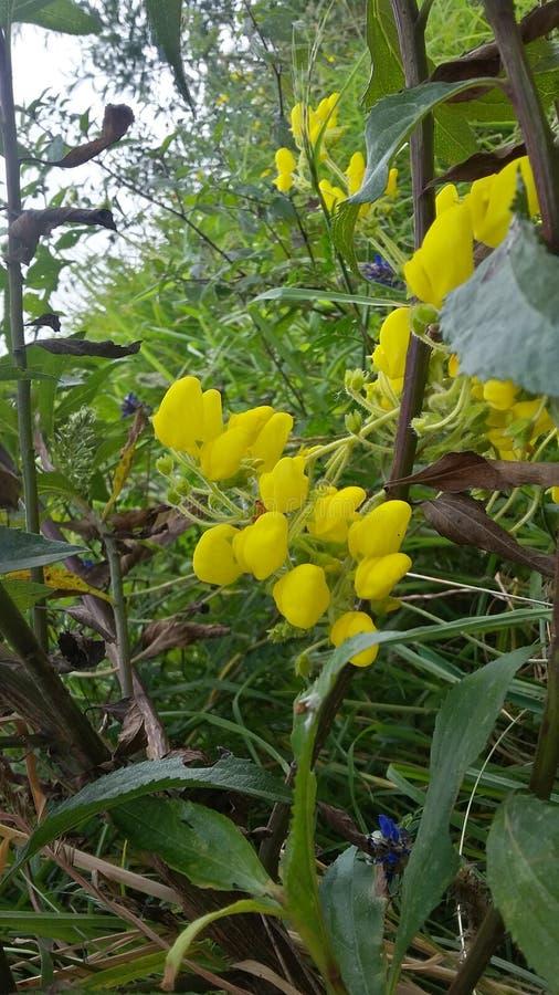 Gelbe Blumen bekannt als zapatitos O botitas lizenzfreie stockfotografie