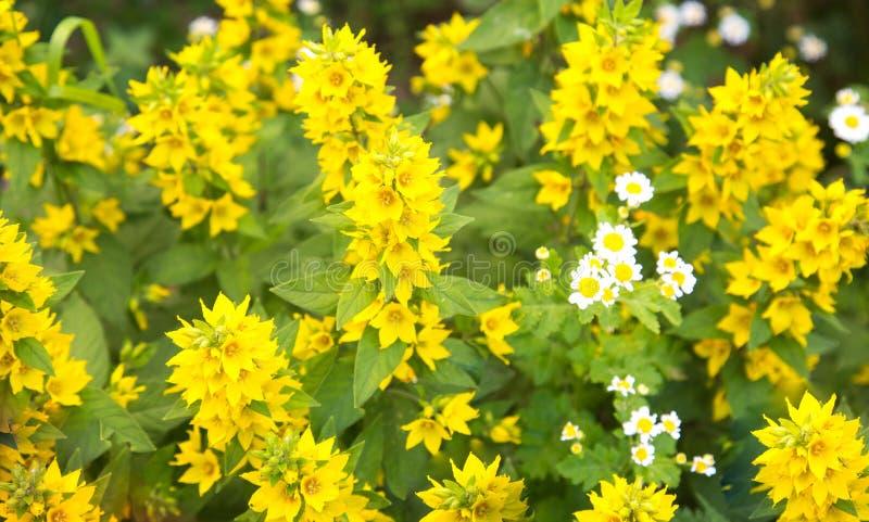 Gelbe Blumen des Flachses gewöhnlich an einem klaren sonnigen Tag Selektiver Fokus Blumenzuchtlandwirtschaft stockfoto